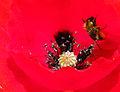 Bug pollen flower.jpg