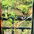 Bulbul foraging on tinospora cordifolia's ruby red fruits at my backyard.jpg