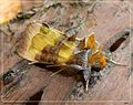 Burnished Brass. Diachrysia chrysitis - Flickr - gailhampshire (7).jpg