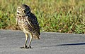 Burrowing Owl8.jpg