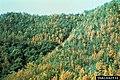 Bursaphelenchus xylophilus on Pinus densiflora (01).jpg