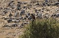 Buteo buteo - Common buzzard, Malatya 2018-09-27 01.jpg