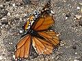 Butterfly Mating (9110101261).jpg