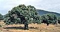 Cáceres, árboles 1975 02.jpg