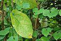 CBN Aristolochia constricta 2015-07-03 Philweb 2 (18762258513).jpg