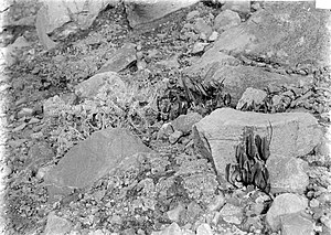 Selliguea feei - Image: COLLECTIE TROPENMUSEUM Polypodium vulcanucun en Gnaphalium javanicum op de Gedé Java T Mnr 10006101