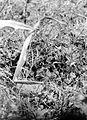 COLLECTIE TROPENMUSEUM Vechtkwartel (Turnix s. suscitator) TMnr 10006514.jpg