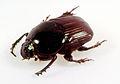 CSIRO ScienceImage 33 Dung beetle.jpg