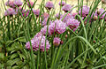 CSIRO ScienceImage 3581 Chives in flower.jpg