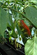 C annuum big jim fruits.jpg