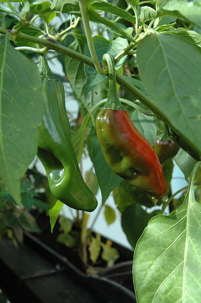 Archivo:C annuum big jim fruits.jpg