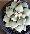 Cactaceae in Thailand by Trisorn Triboon 8.JPG