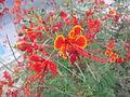 Caesalpinia pulcherrima - രാജമല്ലി - 010.JPG