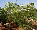 Caesalpinia sappan (Sappan wood) W IMG 3194.jpg