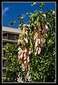 Cairns pink leaves-1 (8235426773).jpg