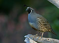 California Quail (Callipepla californica) (2265246182).jpg