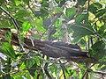 Callosciurus erythraeus (40950140362).jpg