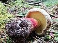 Caloboletus calopus LE 01.jpg