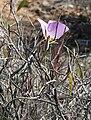 Calochortus flexuosus 14.jpg