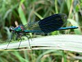 Calopteryx splendens 20050729 504.jpg