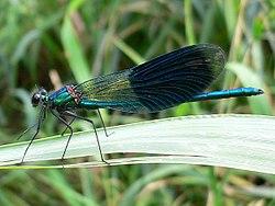 «Belflugila libelo»: Calopteryx splendens