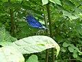 Calopteryx virgo 001.jpg