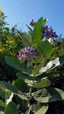 Calotropis gigantea - Wikipedia