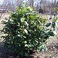 Calycanthus floridus shrub.jpg