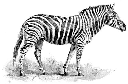 Cambridge Natural History Mammalia Fig 127.jpg