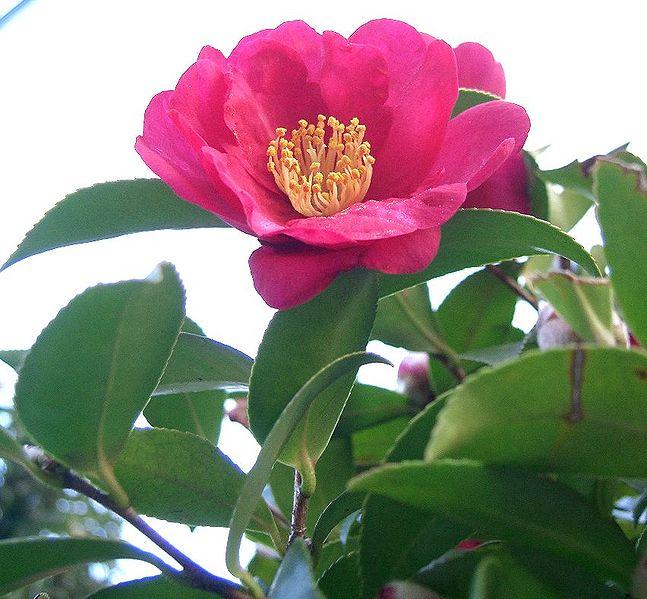 fleur rose du camelia sansaqua