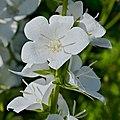 Campanule blanche FR 2014b.jpg