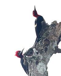 Campephilus robustus -Argentina-3