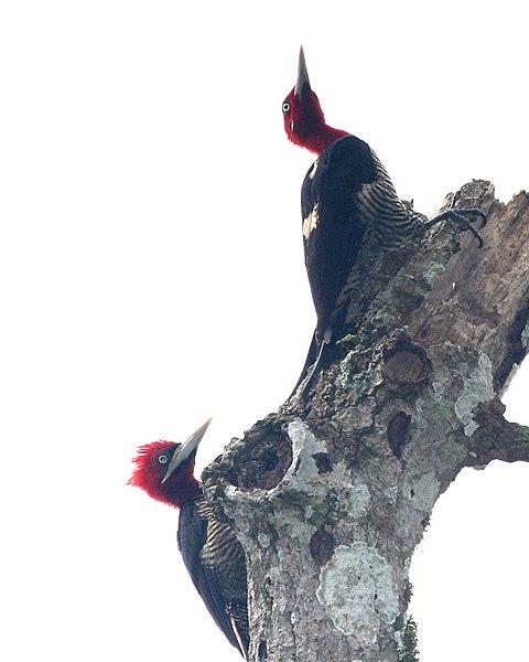 Ficheiro:Campephilus robustus -Argentina-3.jpg