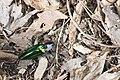Campsosternus mirabilis (34865052923).jpg