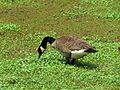 Canada Goose Foraging - Flickr - treegrow.jpg