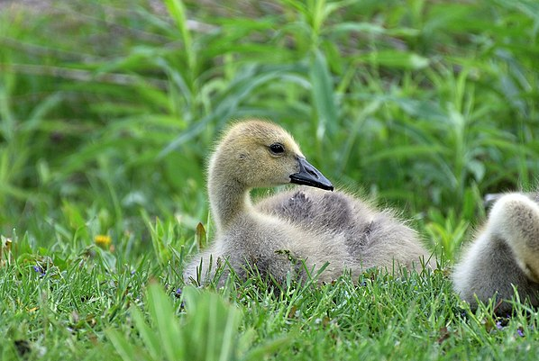Canada goose gosling sitting amongst its clutch members and parents, spotted at a municipal park in Waterloo, Ontario. The yellow plumage around the neck and head distinguishes the juvenile from grown adults. Canada Goose Gosling.jpg