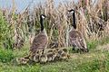 Canada Goose family near the airport (8467186716).jpg