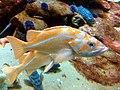 Canary rockfish 2.jpg