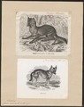 Canis aureus - 1700-1880 - Print - Iconographia Zoologica - Special Collections University of Amsterdam - UBA01 IZ22200045.tif