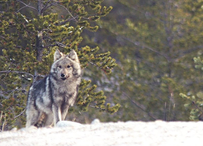 File:Canis lupus in quebec.jpg