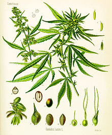 Cannabis (drug)