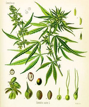 Medical cannabis - Cannabis as illustrated in Köhler's Book of Medicinal Plants, 1897