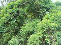 Canthium inerme - turkey berry tree - Cape Town.JPG