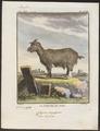 Capra aegagrus - 1700-1880 - Print - Iconographia Zoologica - Special Collections University of Amsterdam - UBA01 IZ21300257.tif