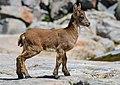 Capra pyrenaica victoriae, juvenile -- 2013 -- Laguna Grande, Sierra de Gredos, España.jpg