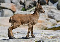 "Biology ""logo"" (A three month old iberian ibex)"