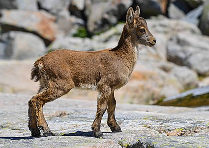 Three month old iberian ibex ().