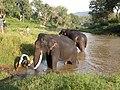 Captive elephant Mudumalai AJTJohnsingh.JPG