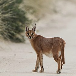 Caracal on the road, early morning in Kgalagadi (36173878220).jpg
