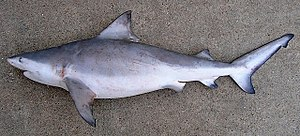 Bull shark - Image: Carcharhinus leucas TPWD